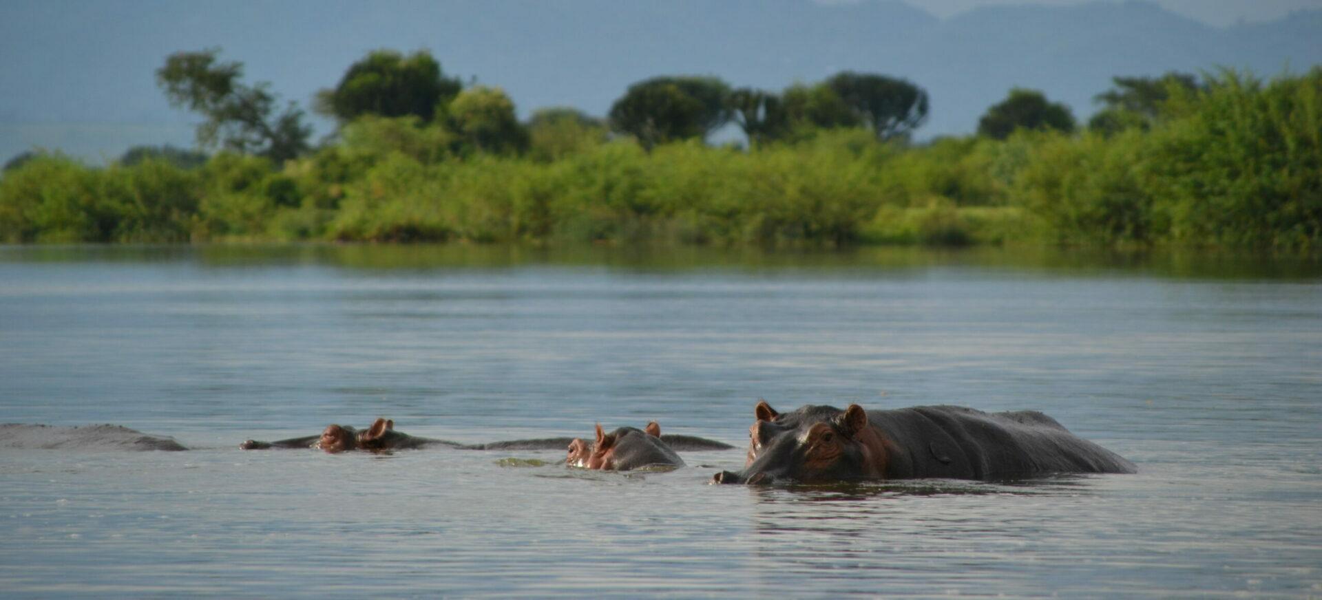 watch hippos at the lake