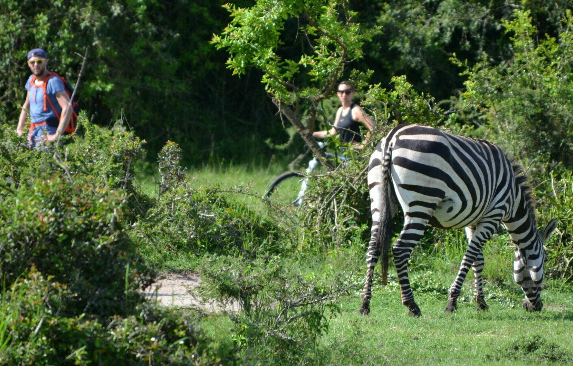 cycle between the zebras